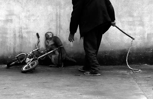 מבטו העצוב של קוף, באימון בקרקס בסין (צילום: EPA) (צילום: EPA)