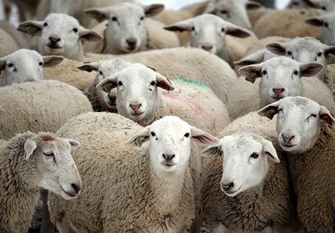 """""""לכבשים יכולות זיהוי פנים מתקדמות, בדומה לאלו של בני אדם ושל קופים"""" (צילום: AP) (צילום: AP)"""