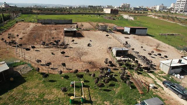 The ostrich farm is one of a growing number of ventures in Palestinian agriculture (Photo: AFP) (Photo: AFP)