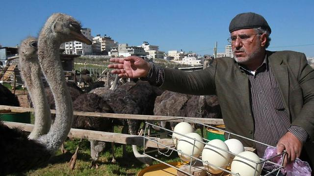 Fifty-year old Palestinian farmer Abdulrahman Abu Tir keeps 200 ostriches on his land and hopes to increase the number (Photo: AFP) (Photo: AFP)