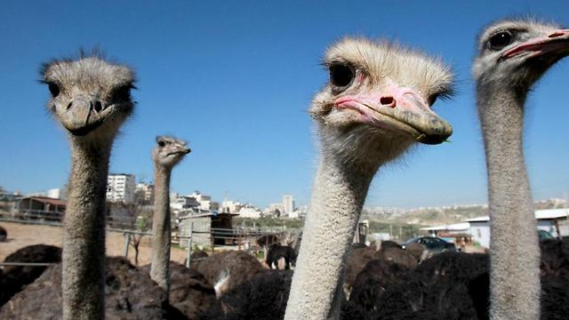 Ostriches have been farmed for meat for the last three years near the West Bank city of Bethlehem (Photo: AFP) (Photo: AFP)
