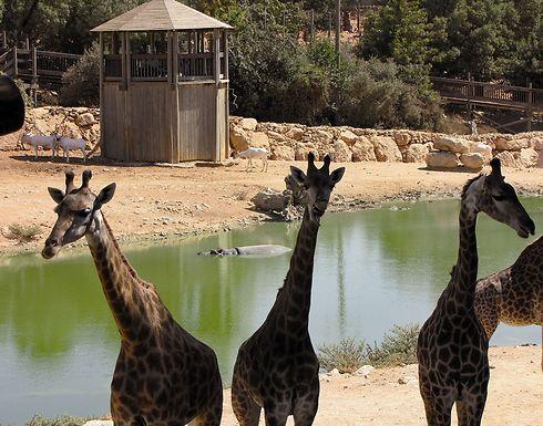 Will the Biblical Zoo's giraffes have no visitors on Shabbat? (Photo: Yaara (Forest) Tamari)