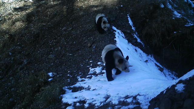 (© WWF China/An Zi He NR/ Peking University / WWF) (© WWF China/An Zi He NR/ Peking University / WWF)