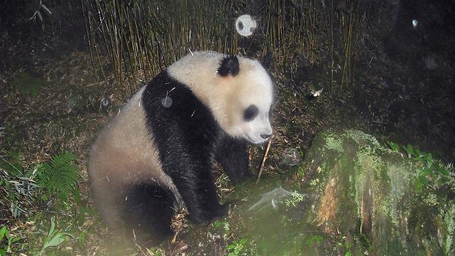 (© WWF China/Wang Lang NR/Peking University / WWF) (© WWF China/Wang Lang NR/Peking University / WWF)