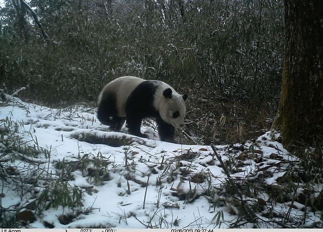 (© WWF China/Wang Lang NR/Peking University / WWF)