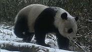 © WWF China/Wang Lang NR/Peking University / WWF