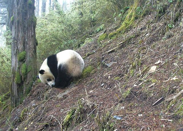 (© WWF China/Wang Lang NR/Peking University / WWF:צילום)