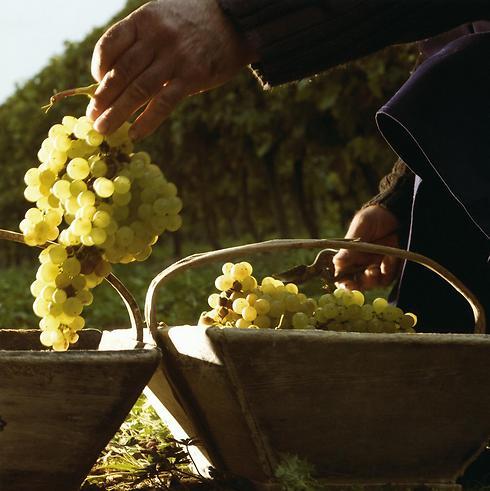 הענבים עושים את כל ההבדל (צילום: יחסי ציבור) (צילום: יחסי ציבור)