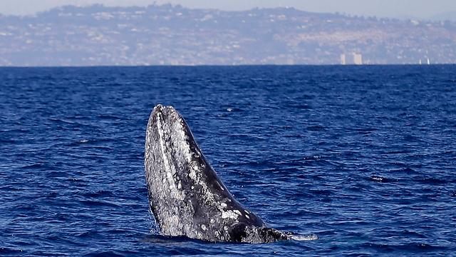 לווייתן מול חופי קליפורניה (צילום: AP) (צילום: AP)