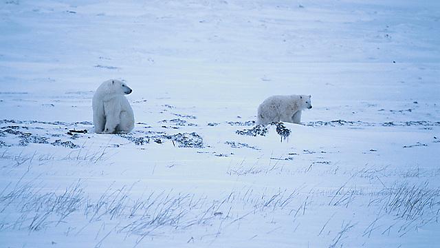 דובי קוטב (צילום: ויז'ואל/פוטוס) (צילום: ויז'ואל/פוטוס)