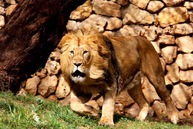 הפסיד במדגם, ניצח בבחירות. זיו האריה האסיאתי (צילום: ניקול וכסלר) (צילום: ניקול וכסלר)