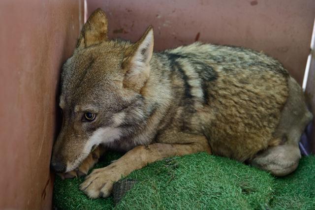 הזאב בנסיעה דרומה (צילום: לירון סמואלס) (צילום: לירון סמואלס)