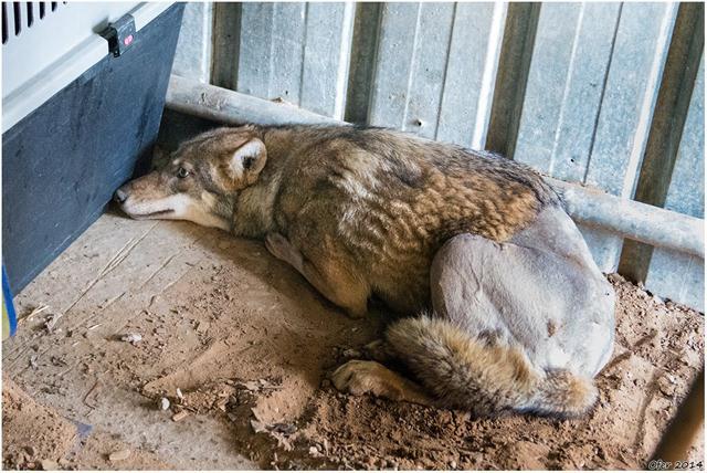 הזאב בתא האישפוז בדצמבר 2014 בבית החולים לחיות בר (צילום: עופר בריל) (צילום: עופר בריל)