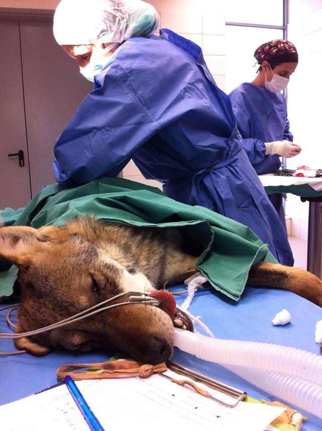 """הזאב נותח על ידי ד""""ר הדס בנציוני, מומחית בכירורגיה וטרינרית ועם צוות הוטרינרים של ביה""""ח לחיות בר (צילום: רוני אליאס, ביה""""ח לחיות בר) (צילום: רוני אליאס, ביה"""