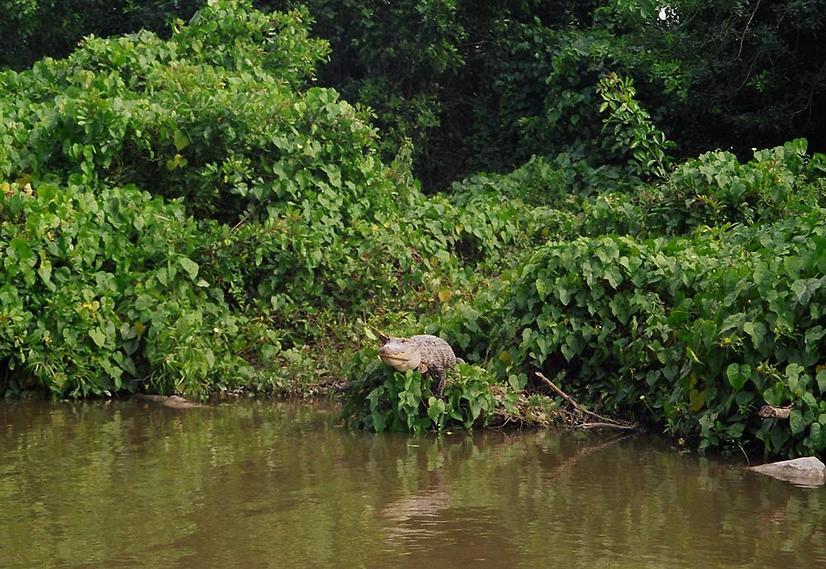 גם הוא יחכה לכם שם. תנין בחוות התנינים של אוורגליידס (צילום: סיגלית בר)