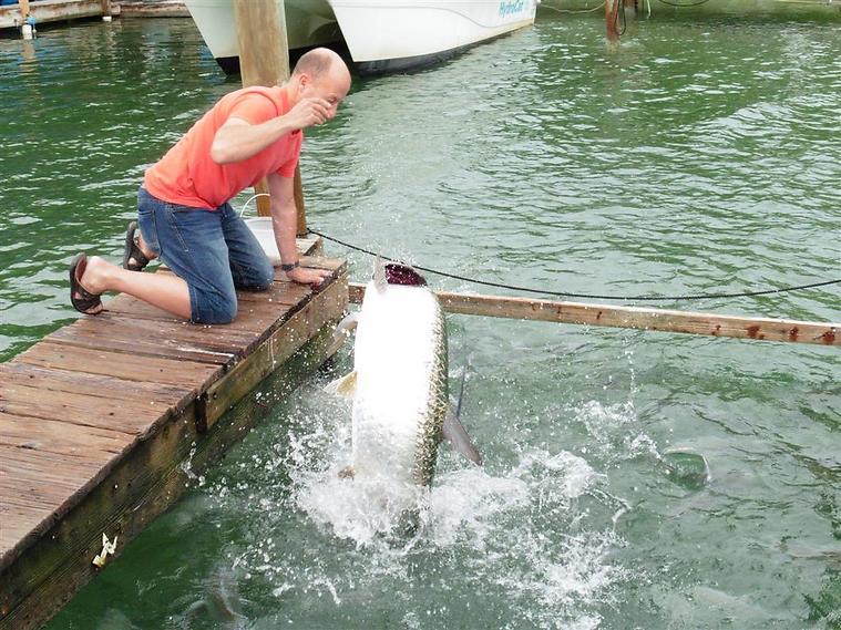 דגי טרפון רעבים (!) במרחק נגיעה (צילום: סיגלית בר)