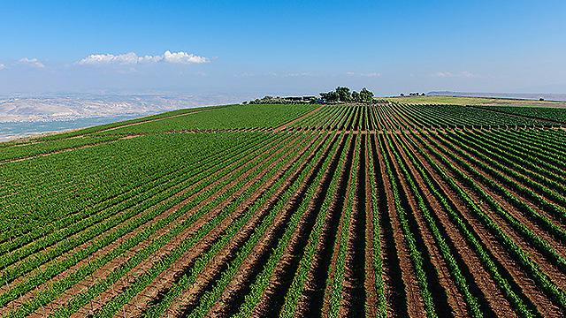 כרם בגליל (צילום: ישראל ברדוגו )