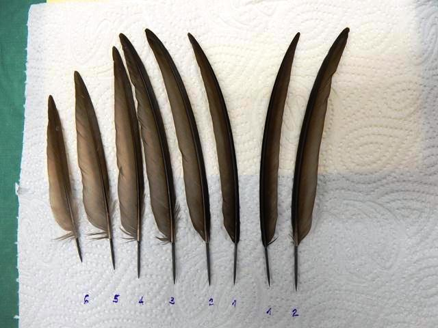 The new feathers are carefully labelled ready for transplant - two for the right wing and six for the left (Photo: Shmulik Landau, the Wildlife Hospital)