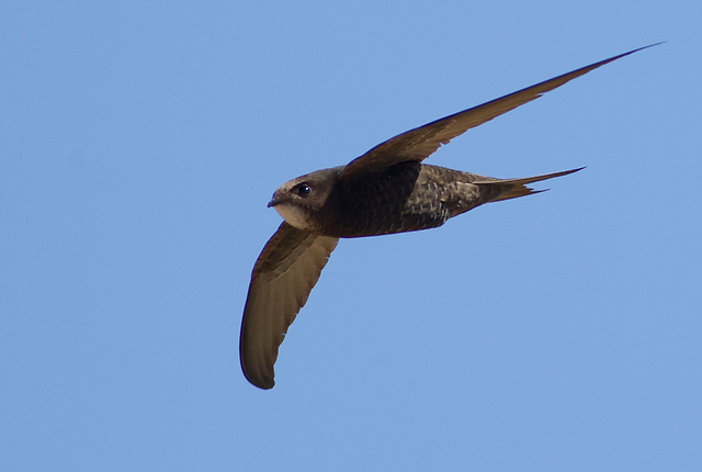סיסי החומות, ציפורים קטנות ומהירות שמבלות את כל חייהן בתעופה, החל מאכילת חרקים באוויר וכלה בהזדווגות מהירה. צילום ארכיון (צילום: אמיר בן-דב)