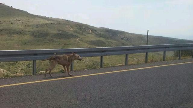 הזאבה שנשכה  (צילום: אמיר מנקס) (צילום: אמיר מנקס)