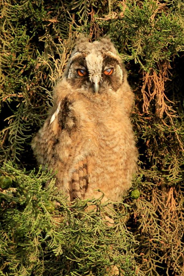 ינשוף עצים (צילום: טולי מלק) (צילום: טולי מלק)