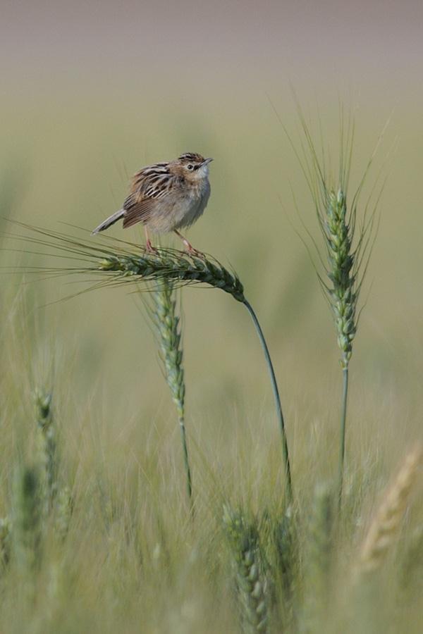 תפר בשדות צרעה (צילום: מיכה מנדל) (צילום: מיכה מנדל)