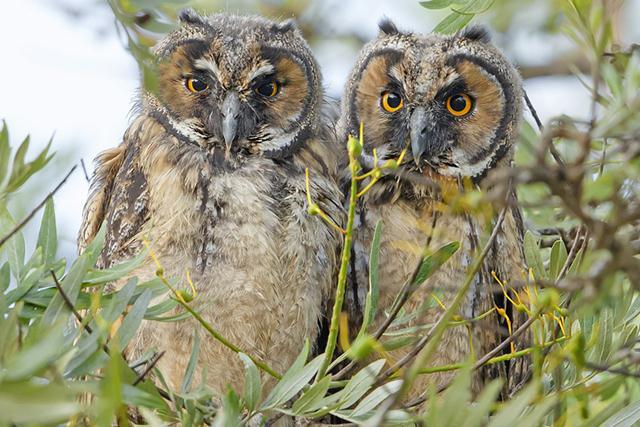 פרחונים של ינשופי עצים (צילום: שלמה ולדמן) (צילום: שלמה ולדמן)