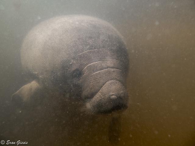 חלאיסי, נקבת תחש נהרות (פרת ים) (צילום: ערן גיסיס) (צילום: ערן גיסיס)