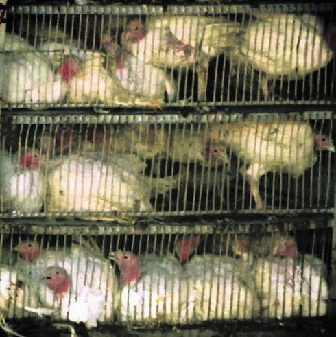 במשרד החקלאות מציעים להחמיר את הענישה. עופות במשחטה (צילום: אנונימוס)
