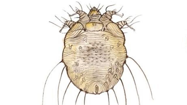 נקבת הסקביאס יכולה לשרוד כחודש על הגוף. היא מטילה ביצים על העור, ומתחתיו (צילום: shutterstock) (צילום: shutterstock)