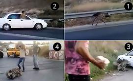1. מרדף אחרי הצבוע באמצעות רכב. 2. אחד הרכבים פוגע בצבוע. 3. אבנים גדולות הושלכו לעבר הצבוע במהלך המרדף. 4. סקילת הצבוע למוות באמצעות אבנים וסלעים ()