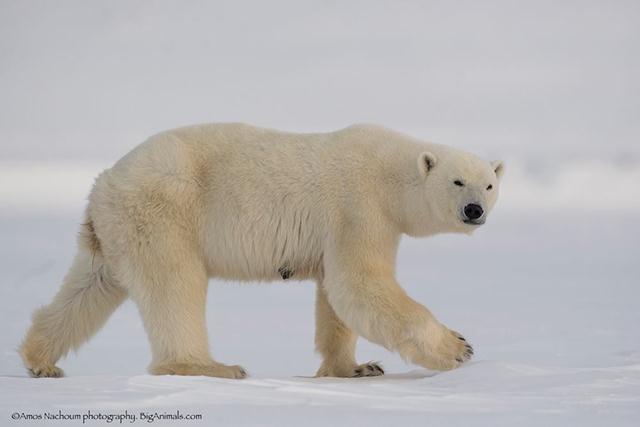 דובת קוטב שתועדה במסע הקודם ביבשה לפני מספר חודשים (צילום: עמוס נחום) (צילום: עמוס נחום)