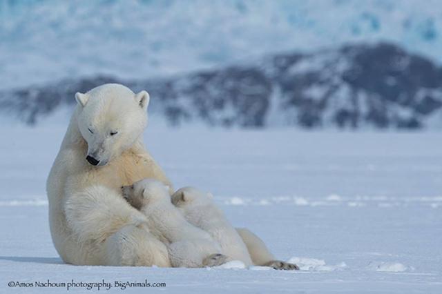 הפעם האתגר יהיה לשחות עם דוב קוטב ממרחק של מספר מטרים (צילום: עמוס נחום) (צילום: עמוס נחום)