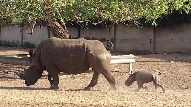 Rhinos at the Ramat Gan Safari (Photo: Anat Gal)