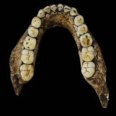 שיניו קטנות יחסית (צילום: AFP PHOTO/HO/ WITS UNIVERSITY/ BRETT ELOFF)