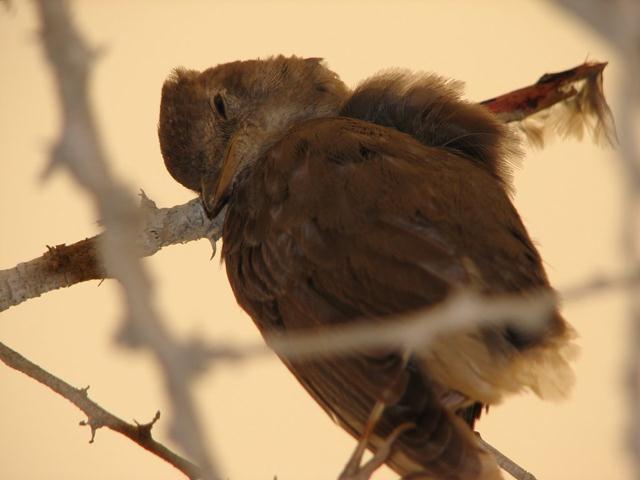 זמירון משופד. החנקנים צדים גם ציפורי שיר קטנות, בעיקר ציפורים נודדות וחלשות (צילום: עודד קינן) (צילום: עודד קינן)