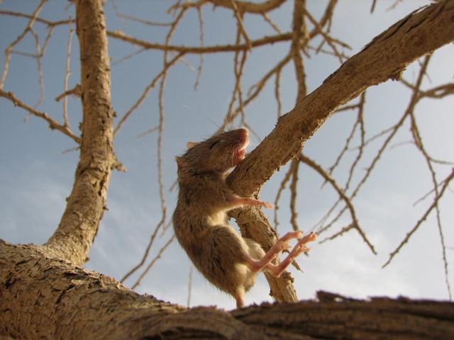 עכבר משופד (צילום: עודד קינן) (צילום: עודד קינן)