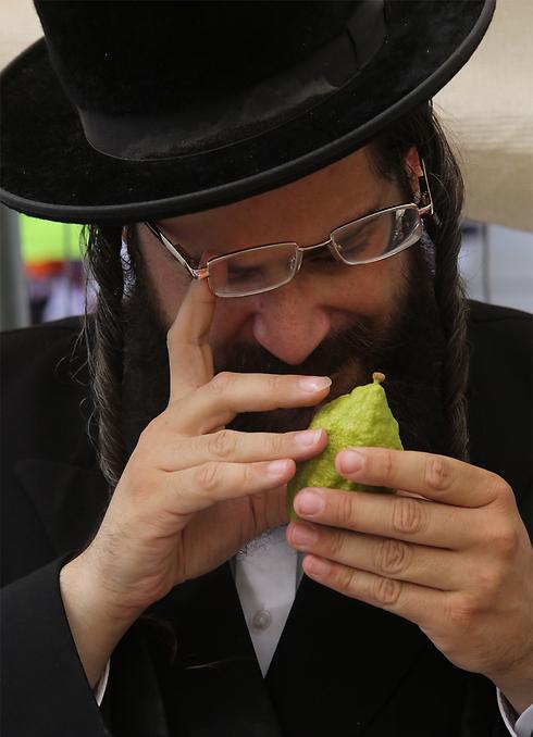 Man ensures etrog's pitam is intact (Photo: Gil Yohanan) (Photo: Gil Yohanan)