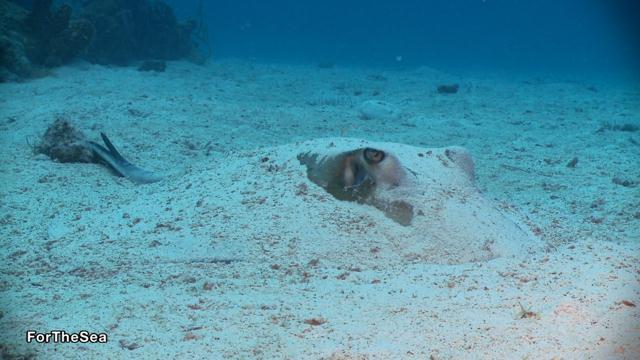 חתול הים הקריבי (בוגר) (צילום: צביקה (זיגי) לבנת) (צילום: צביקה (זיגי) לבנת)