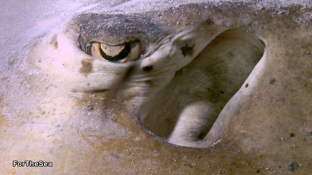 חתול הים הקריבי (תקריב על עין וזימים) (צילום: צביקה (זיגי) לבנת) (צילום: צביקה (זיגי) לבנת)