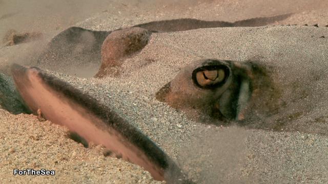 חתול הים הקריבי (תקריב) (צילום: צביקה (זיגי) לבנת) (צילום: צביקה (זיגי) לבנת)