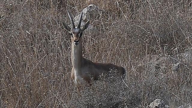 צבי בהרי ירושלים (צילום: גיא אסיאג) (צילום: גיא אסיאג)