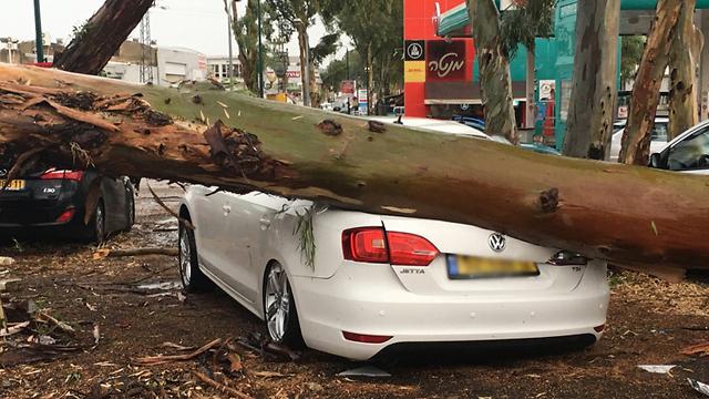 This tree crushed this car in Kfar Saba (Photo: Eli Nodler)