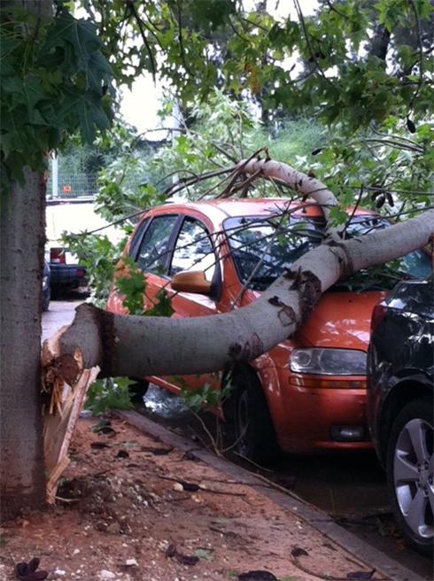 עץ שקרס בבית יהושע ( צילום: דליה טיבי) ( צילום: דליה טיבי)