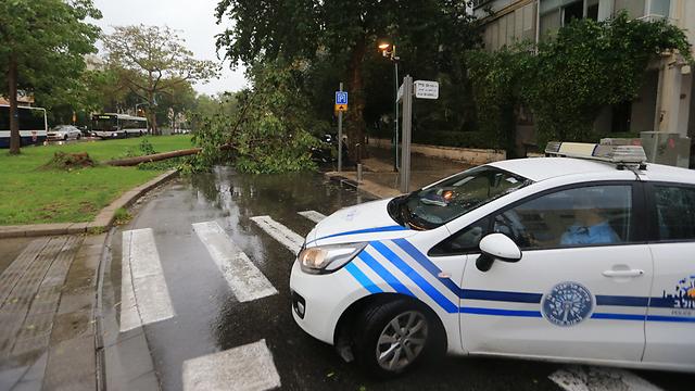 עץ קרס בכיכר מילאנו בתל אביב (צילום: ירון ברנר) (צילום: ירון ברנר)