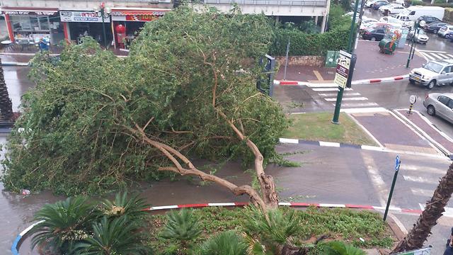 הרוחות החזקות גרמו לקריסת עץ בהוד השרון (צילום: אופיר אברמוביץ) (צילום: אופיר אברמוביץ)