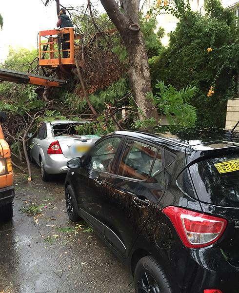 עץ קרס על רכב בתל אביב (צילום: רוי וייסמן) (צילום: רוי וייסמן)