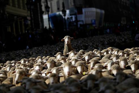כ-2,000 כבשים ורועי צאן חוצים את מרכז העיר במדריד במחאה על אובדן שטחי מרעה שלהם לטובת הפיתוח האורבני (צילום: AP) (צילום: AP)