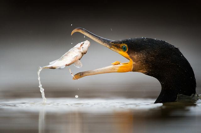 ציון לשבח.  (Tom Dyring, נורבגיה). בכל חורף מבלה הצלם כשבוע במסתור לצילום עופות מים. מדי ינואר מתאספים קורמורנים בלהקות גדולות כדי לצוד דגים סמוך לאגמים. החלום של הצלם היה לתעד מקרוב קורמורן במהלך ציד. צילום: Tom Dyring   Siena International Photo Awards (צילום: Siena International Photo Awards)