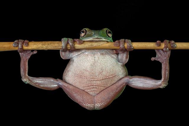 ציון לשבח (Lessy Sebastian, אינדונזיה). צפרדע עצים ירוקה ושמנה מנסה להתרומם מעל קנה במבוק בחצר האחורית של הצלם באינדונזיה. צילום: Lessy Sebastian   Siena International Photo Awards (צילום: Siena International Photo Awards)